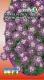 Smagliczka niska fioletowa